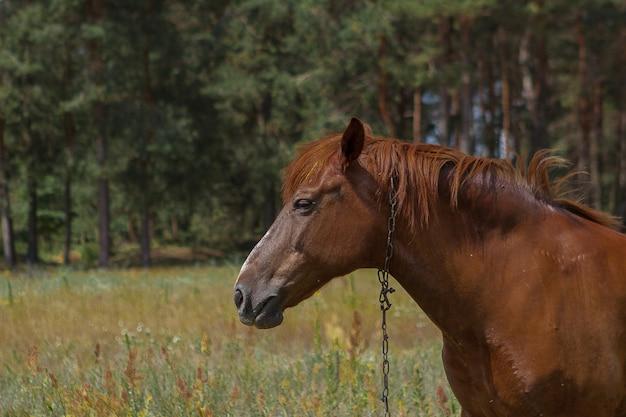 Cavalo castanho, retrato, cabeça, close-up, verão nas florestas