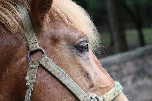 Cavalo castanho