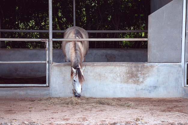 Cavalo cinza comendo feno no estábulo na fazenda na tailândia