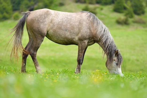 Cavalo cinza no pasto na primavera