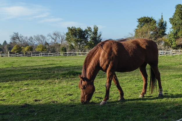 Cavalo comendo grama em uma fazenda ao pôr do sol