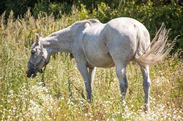 Cavalo cor cinza pastar no prado.