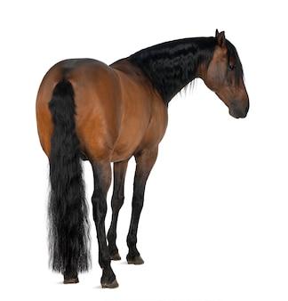 Cavalo cruzado contra espaço em branco