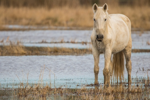 Cavalo da camargue no parque natural dos pântanos, girona, catalunha, espanha
