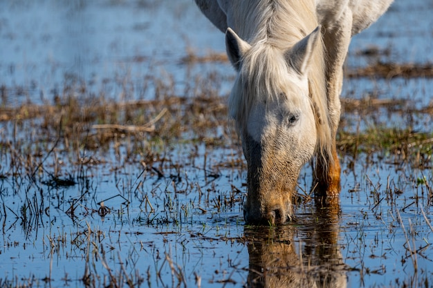 Cavalo da camargue no parque natural dos pântanos