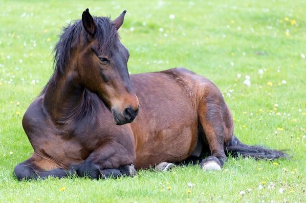 Cavalo deitado no prado