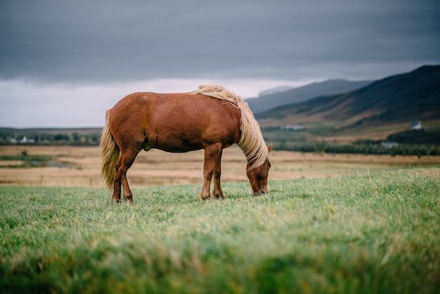 Cavalo islandês castanho com uma crina clara comendo grama em um prado verde em um dia nublado