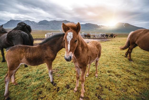 Cavalo islandês na natureza cênica da islândia