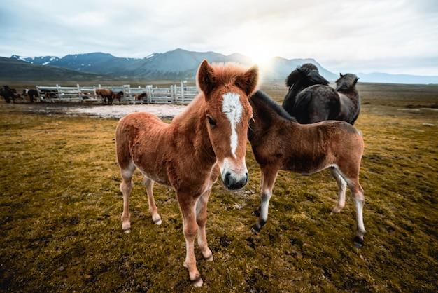 Cavalo islandês na natureza cênica da islândia.