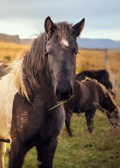Cavalo islandês na natureza.