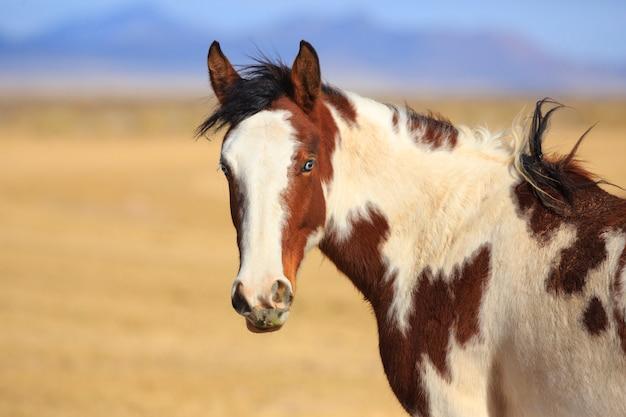 Cavalo malhado, olhando para a câmera