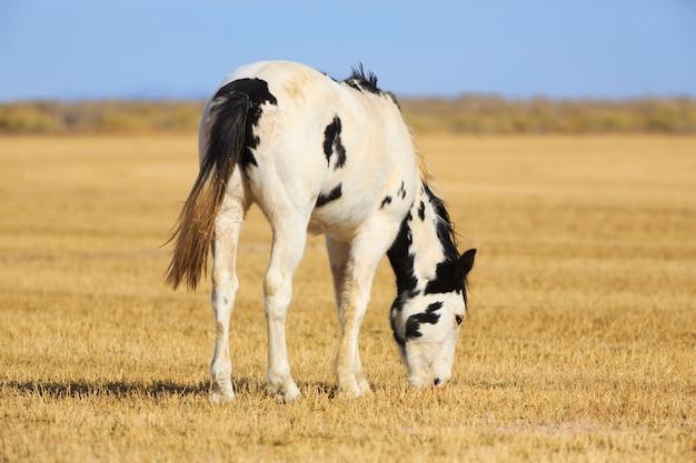 Cavalo malhado pastando no campo