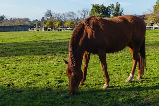 Cavalo marrom comendo grama em uma fazenda ao pôr do sol