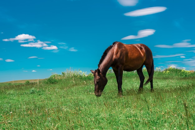 Cavalo marrom grávida pastando no campo