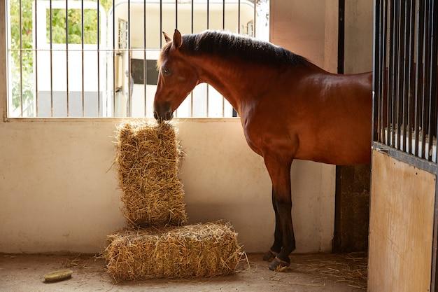 Cavalo marrom no estábulo comendo um fardo de palha