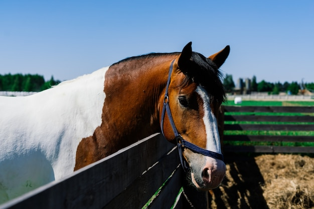 Cavalo na natureza e na fazenda. retrato de um cavalo castanho