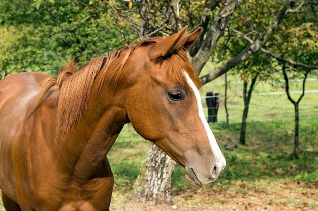Cavalo na natureza. retrato, de, um, cavalo, cavalo marrom