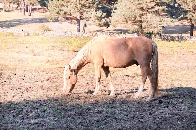 Cavalo pastando em terra firme por causa do calor