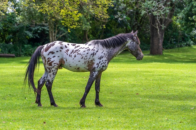 Cavalo pastando na grama verde do jardim tropical. tanzânia, áfrica oriental