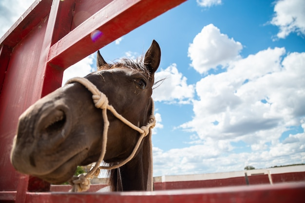 Cavalo pequeno enfiando a cabeça para fora através de uma cerca na fazenda