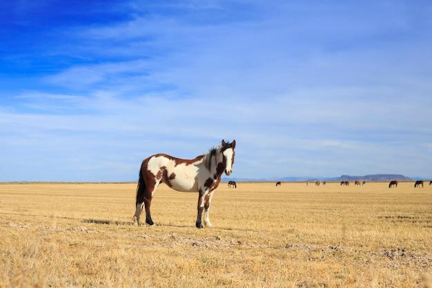 Cavalo pinto em pé no campo ranch