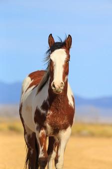 Cavalo pinto marrom verical