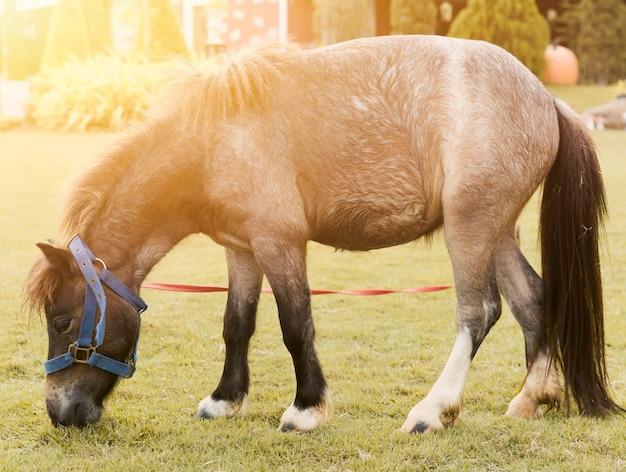 Cavalo pônei. pequeno cavalo na fazenda.