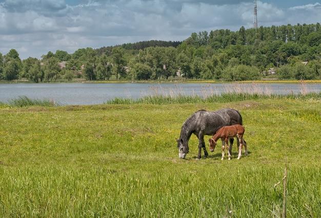 Cavalo preto e potro marrom em pasto verde com grama verde perto do lago