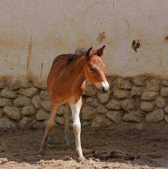 Cavalo prozhivalsky desliza a cabeça através da cerca no zoológico