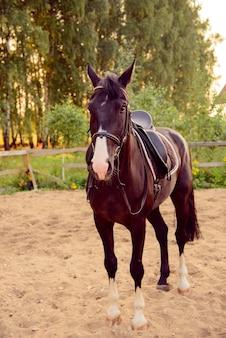 Cavalo selado na areia no paddock ao pôr do sol