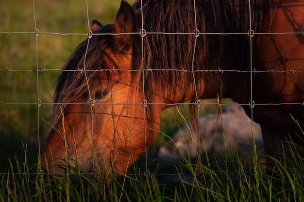Cavalo selvagem comendo grama