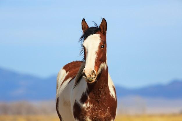 Cavalo selvagem pinto