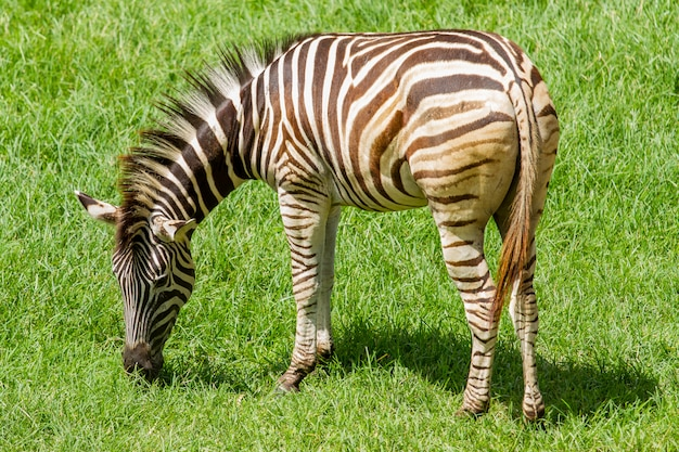 Cavalo zebra comendo grama verde