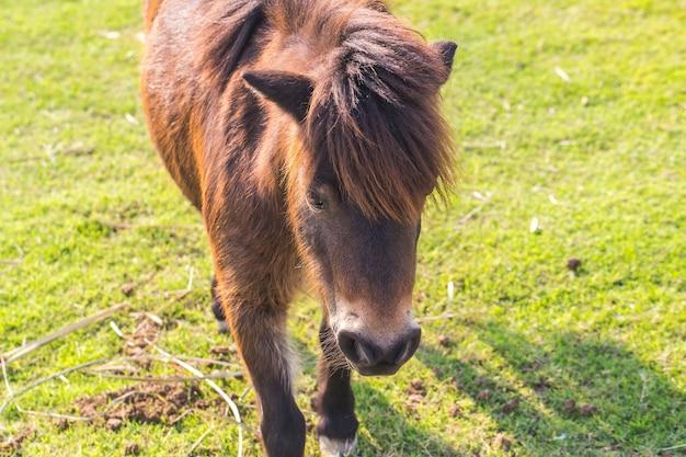 Cavalos anões
