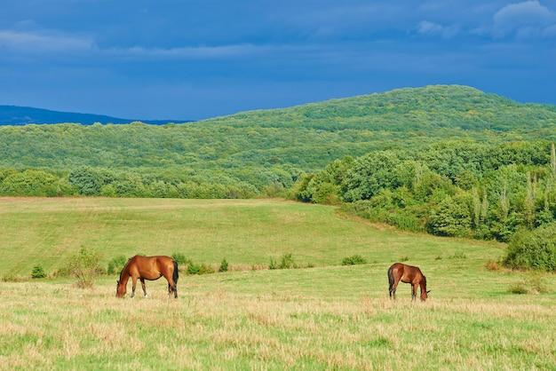 Cavalos baios escuros em um prado com grama verde