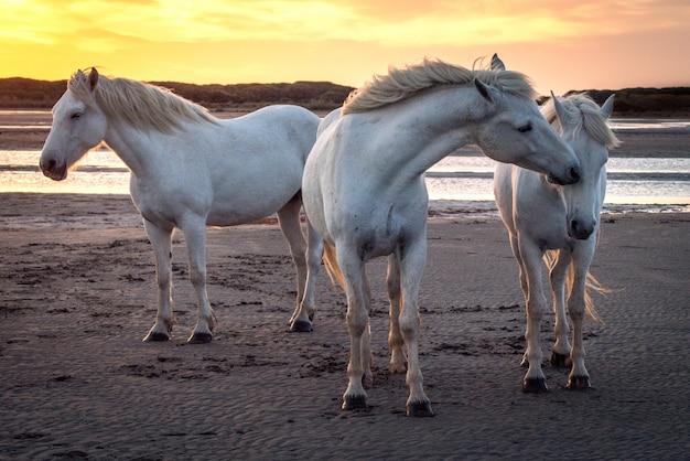 Cavalos brancos estão andando na água por todo o mar em camargue, frança.