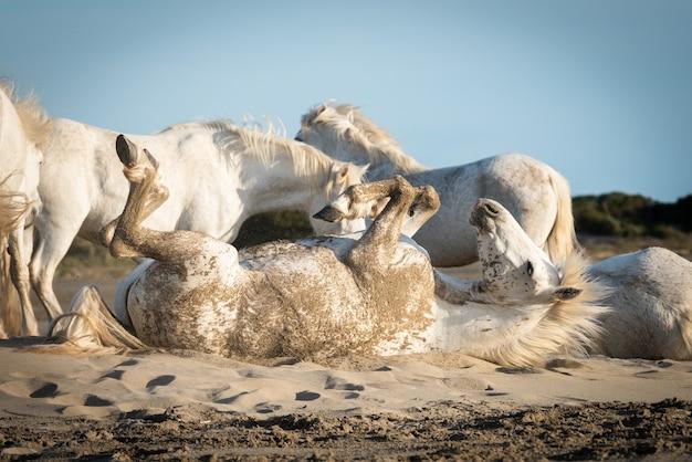 Cavalos brancos estão andando na areia por toda a paisagem de camargue, no sul da frança