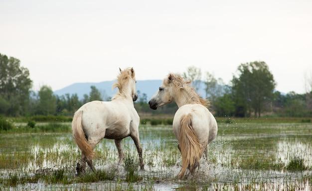 Cavalos camargue