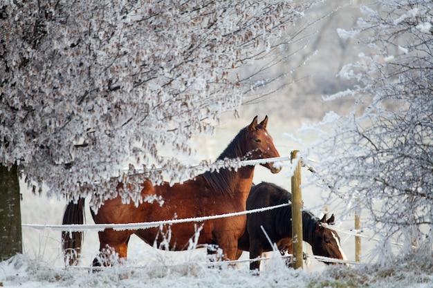 Cavalos cercados por árvores nevadas