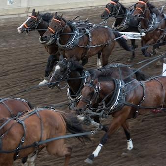 Cavalos, chuckwagon, correndo, em, a, anual, calgary, stampede, calgary, alberta, canadá