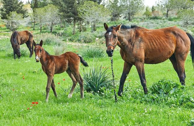 Cavalos com um potro pastando na grama com anêmonas florescendo, israel na primavera
