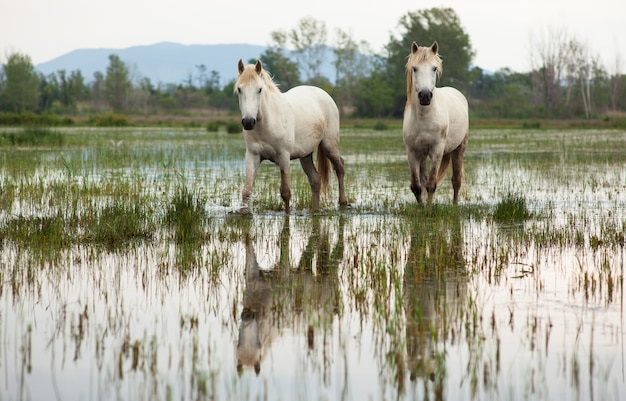 Cavalos de camargue