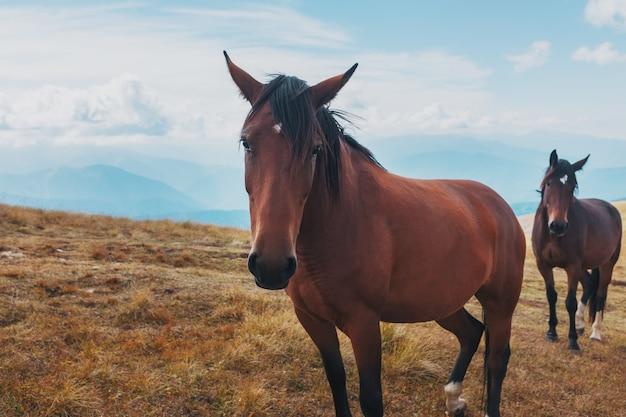 Cavalos de cor escura pastam nas montanhas nas montanhas. uma bela manada de cavalos em estado selvagem