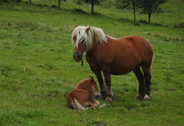 Cavalos de tração