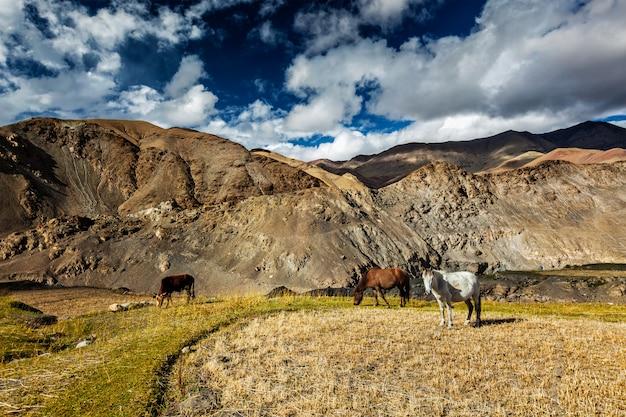 Cavalos e vacas pastando no himalaia. ladakh, índia