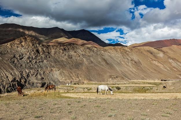 Cavalos e vacas pastando no himalaia ladakh índia