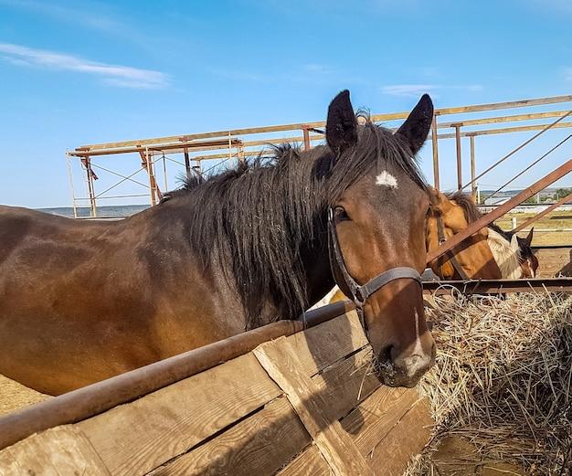 Cavalos em um clube de cavalos comendo feno em um dia ensolarado. retrato de um cavalo marrom ao ar livre