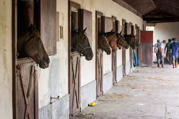 Cavalos em um estábulo, olhando para fora.