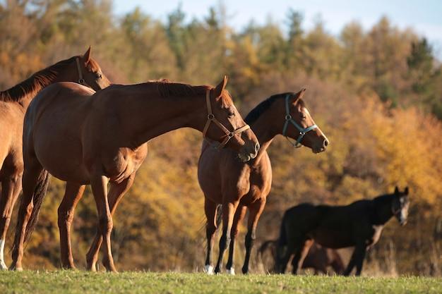 Cavalos em uma pastagem em um fundo de árvores de outono