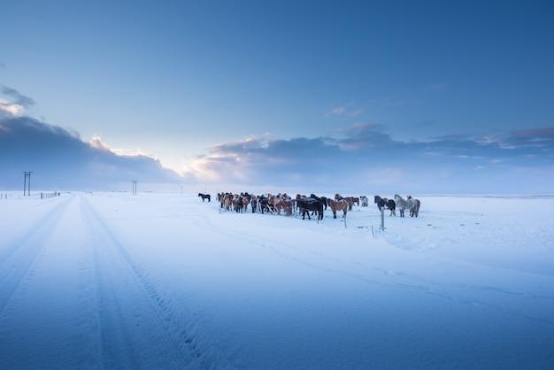 Cavalos islandeses e bela paisagem no inverno